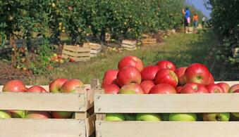 Crates_of_Apples_in_Orchard.jpg